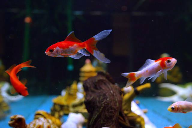 Poissons d 39 aquarium pour d butant guide astuces - Quel poisson choisir pour un petit aquarium ...